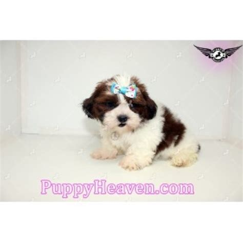 shih tzu puppies california shih tzu breeders in california freedoglistings breeds picture