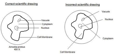 drawing biological diagrams science microscope drawing