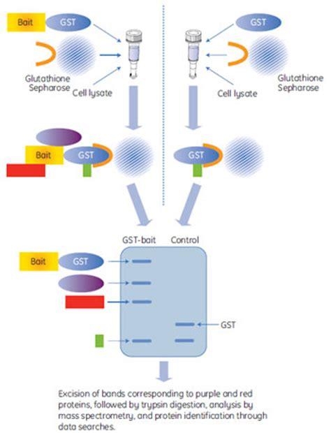 gst agarose タグ付きタンパク質を用いたタンパク質相互作用解析