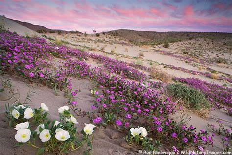 Anza Borrego Desert Flowers anza borrego wildflower photos