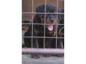rottweiler for sale indianapolis rottweiler puppies in indiana
