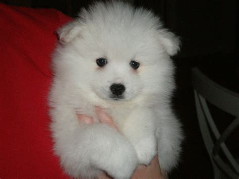 miniature american eskimo puppies hh farms american eskimo dogs