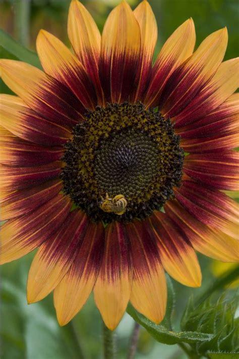 kansas sunflower 50 state flowers 1 pinterest 974 best sunny sunflowers images on pinterest sunflowers