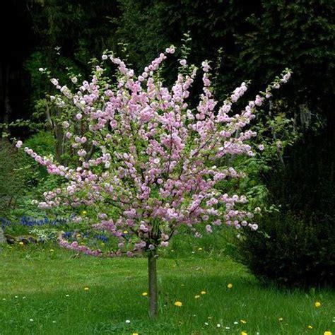 mandorlo da fiore prunus triloba quot rosenmund quot mandorlo da fiore vaso 216 18cm