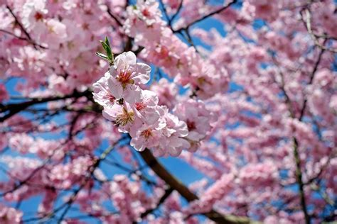 free photo japanese cherry trees flowers free image on