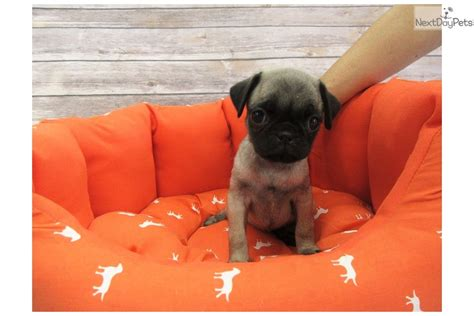 pug puppies for sale orange county pug puppy for sale near orange county california 9c163007 4711