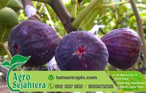 Jual Bibit Pohon Buah Tin Indonesia jual bibit buah tin jogja