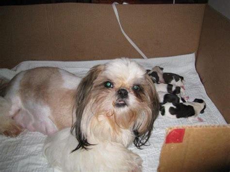 shih tzu newborn puppies the gallery for gt newborn shih tzu puppies