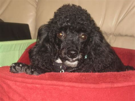 beard clip poodle 17 best images about my pets on pinterest growing up