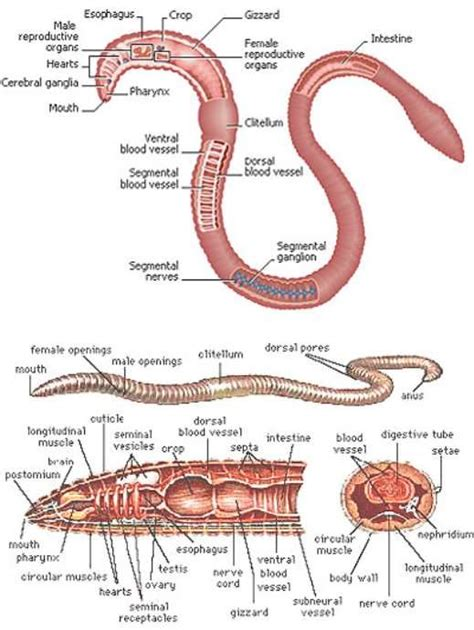 earthworm dissection lab pdf differences between squid and earthworm experiment