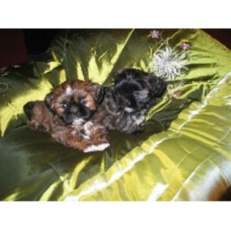 shih tzu puppies rochester ny shih tzu puppies for adoption in new york