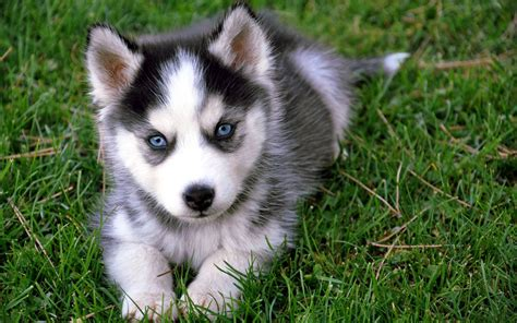 pictures of husky dogs husky puppy puppies wallpaper