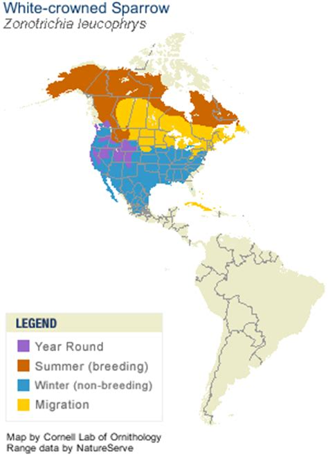 white crowned sparrow life history all about birds