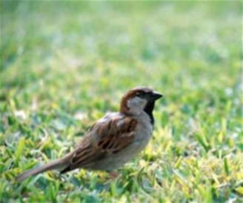 house sparrow nebraska invasive species program