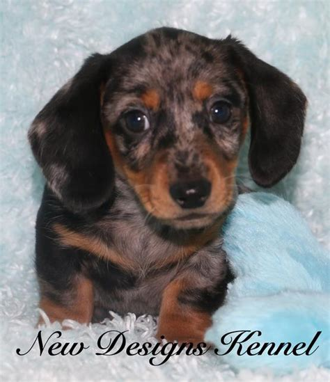 mini dachshund puppies for sale mn dachshunds for sale