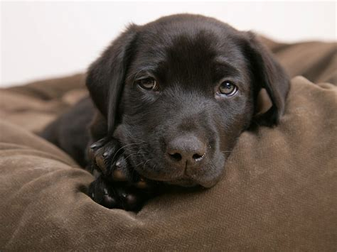 lab puppy labrador puppies wallpaper 14749010 fanpop