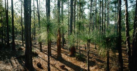 tree shop nc grove of needle pine trees carolina pictures