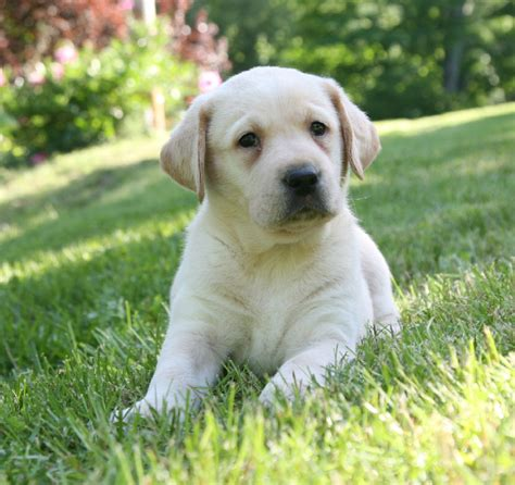 yellow lab puppies for sale in ny yellow labrador retriever puppies for sale breeders pond labradors