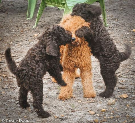 mini chocolate doodle 64 best images about our australian labradoodle s on