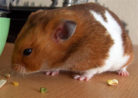 brown and white syrian hamster brown and white