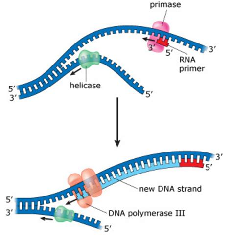7 proteins involved in dna replication 3 chs 5 dna structure and replication machinery