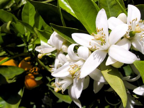 fiori d arancio profumo profumo di fiori d arancio matrimonio e sposi