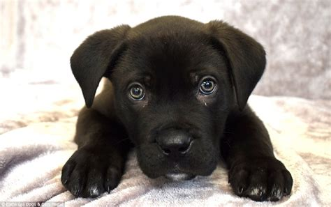 puppy s at home battersea rescue puppy to be dumped will get a home daily mail
