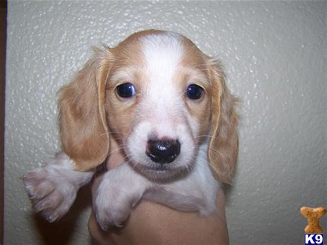 dachshund puppies for sale in california document moved
