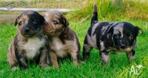 koolie puppies australian koolie kelpie puppies for sale in wallan classified