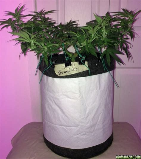 raspberry couch nulife s kindsoil raspberry cough grow journal