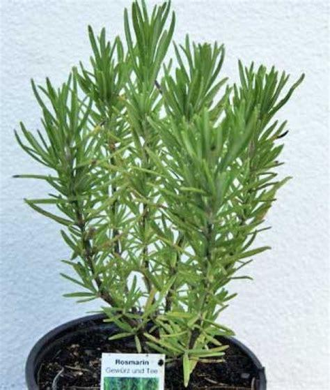 Rosmarin Garten Pflanzen by Rosmarinus Officinalis Rosmarin Kr 228 Uter Pflanzen