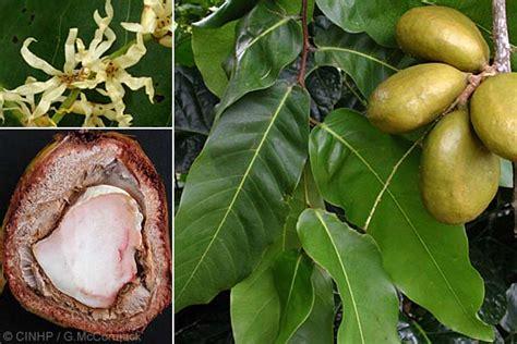 gayam pohong  kaya manfaat  khasiat  perlu