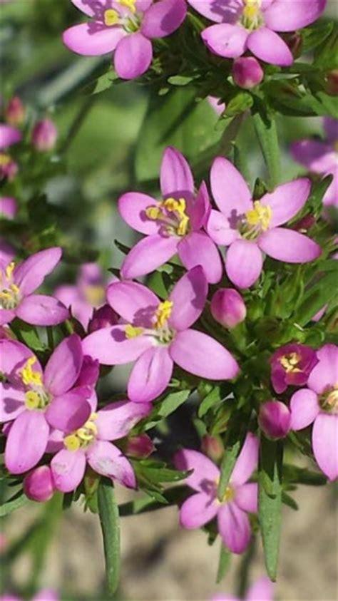 fiori per l anima centaury fiori di bach fiori per l anima