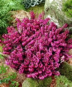 House Plants Pink Flowers - erica carnea loughrigg winterheid april mei