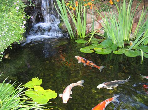 koi pond photos garden koi pond guide enjoy the beauty
