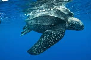 The largest of all sea turtles and one of the largest reptiles on