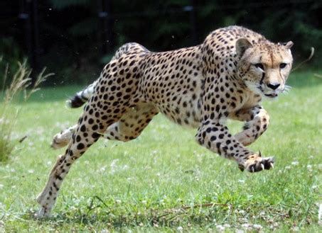 How Fast Can Jaguars Run Cheetah Wildlife Info Facts And Photos The Wildlife