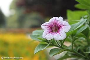 flower pictures petunia picture 7