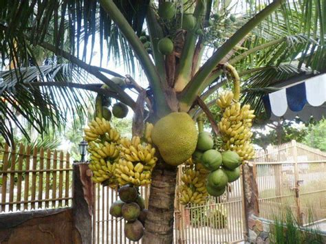 a fruit salad tree in the philippines is the tree of life anything like this from http