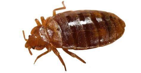 insetti materasso cimici da letto come riconoscerle