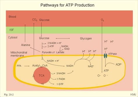 creatine phosphate functions in the cell by cell cycle concept map