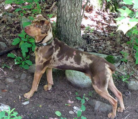 Catahoula Shedding by Westminster Show Catahoula Breeds Picture