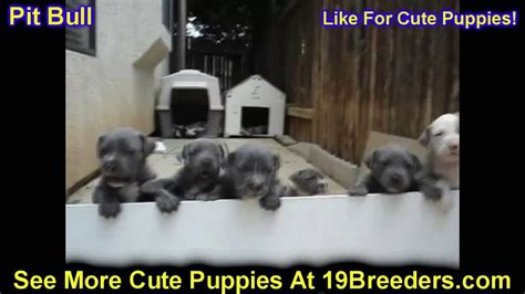 puppies for sale huntsville al pitbull puppies dogs for sale in birmingham alabama al 19breeders huntsville