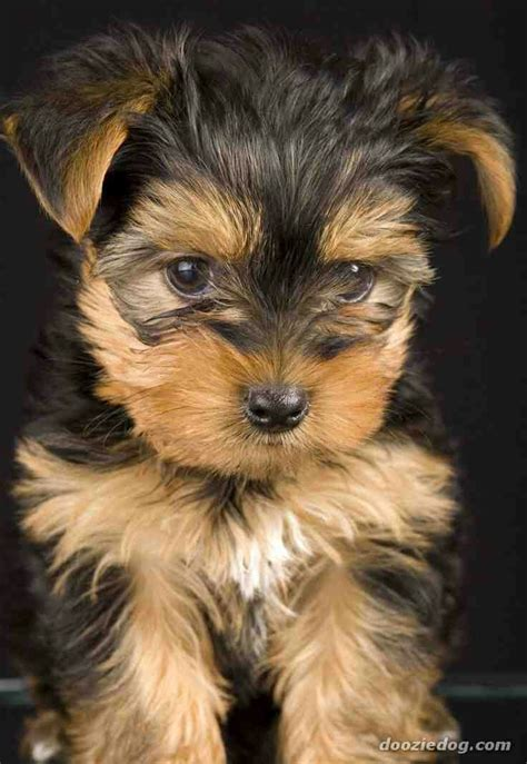6 year yorkie yorkie pup but not as as my maltese she s 6 1 2 years still looks