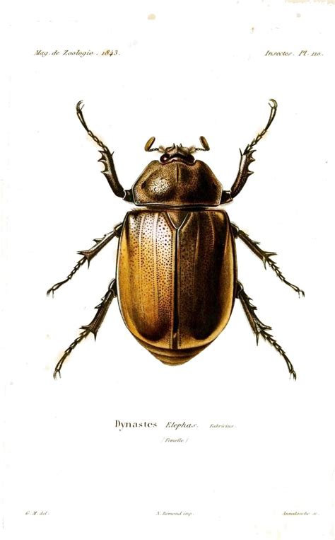insectanatomy free insect animal pictures gallery animal insect beetle type bug 2 french 19th c mod jpg