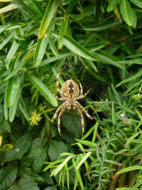 Garden Spider Spot European Garden Spider Araneus Diadematus Nen Gallery