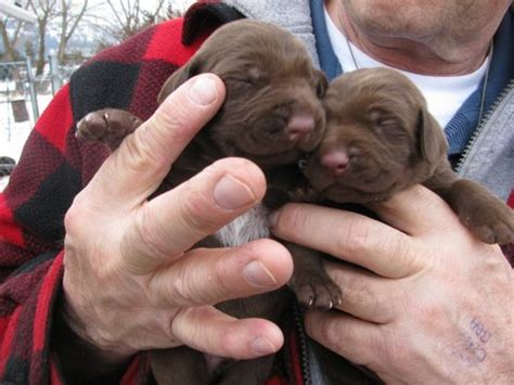 german shorthaired pointer puppies for sale oregon german shorthaired pointer puppies for sale