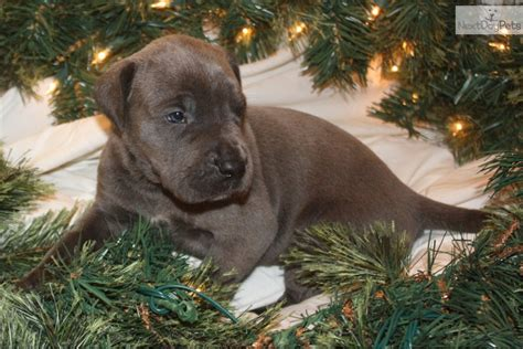 puppies for sale in eastern nc mastiff and pet breeds picture