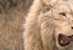 imagenes de leones en movimiento gifs animados de leones gifmania