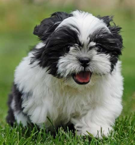 teacup shih tzu puppies for sale in teacup shih tzu puppies for sale teacup shih tzu puppies teacup shih tzu